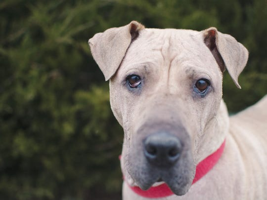 Blanca is a 6-year-old pit-bull terrier who has called Elmbrook Humane Society home for the past eight months. She is hoping to find a home.