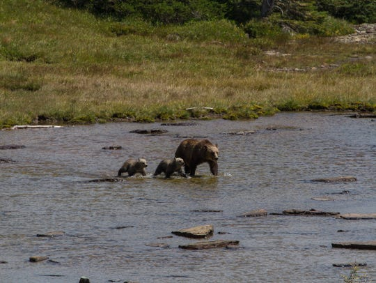 Montana's grizzlies, such as this sow and her two cubs