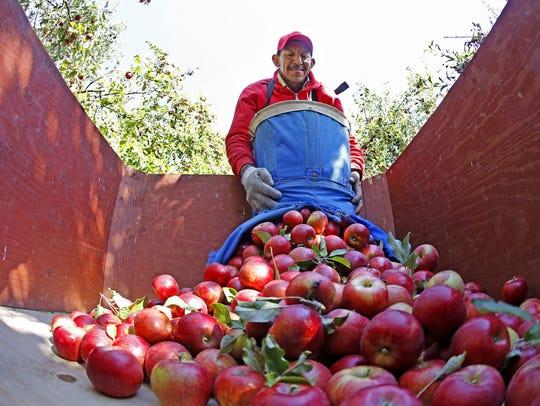 Jesus Hernandez of Nevada unloads a basket of McIntosh