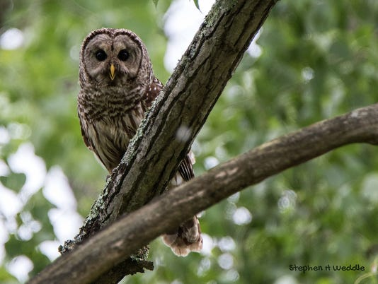 636445421547340434-Barred-Owl.jpg