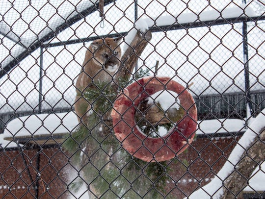A wreath of food hangs in  the mountain lion exhibit