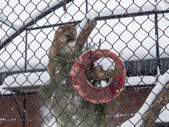 A wreath of food hangs in  the mountain lion exhibit at Wildwood Zoo in Marshfield. Thunder eyes it up.