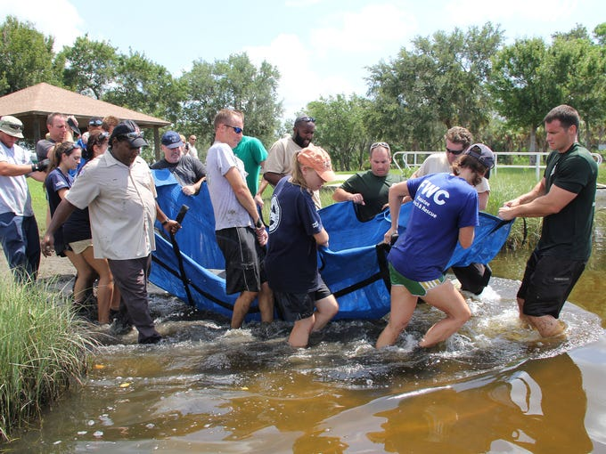 The rescue crew releases one of the rescued manatees