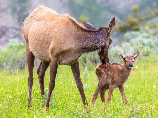 Elk cow grooming her calf in Yellowstone National Park