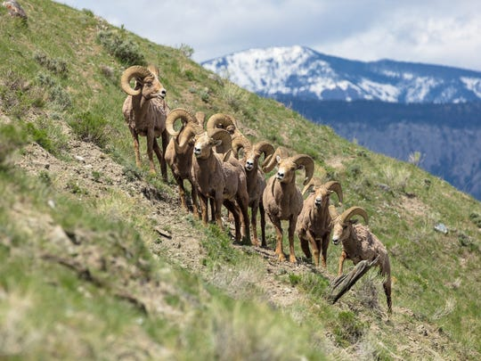 Bighorn rams on Mount Everts in Yellowstone National Park