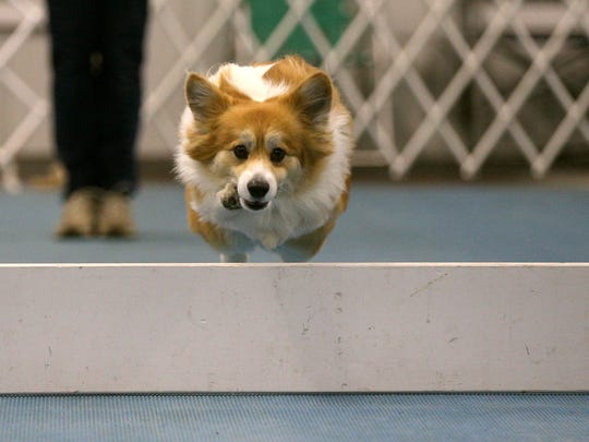 Part of the program  for the Westminster Kennel Club All Breed Dog Show, created by owner Leanne Capozzi has her dog Derby, an 8-year-old Corgi, jumps over an obstacle. Capozzi and Derby will compete in the obedience category which includes a variety of tasks.