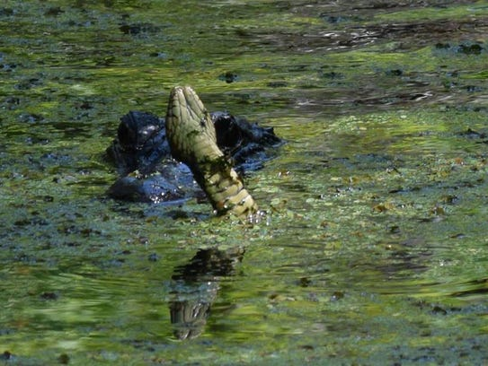An alligator forces a large banded water snake away