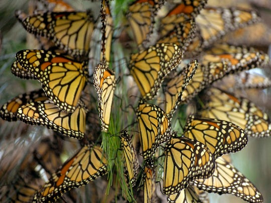 Winter sojourn: Monarch butterflies alight in a Oyamel, Mexico fir forest in this undated photograph by Elizabeth Howard.