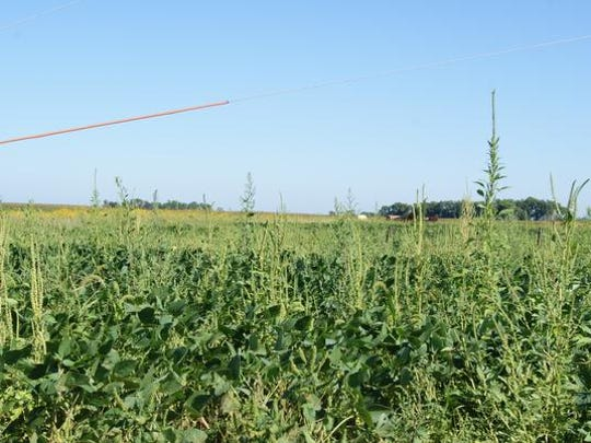 A mixture of Palmer amaranth and waterhemp in a Harrison County field last fall.