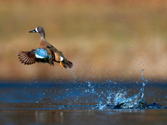 Blue-winged Teal Launching, JOSH HAAS.jpg