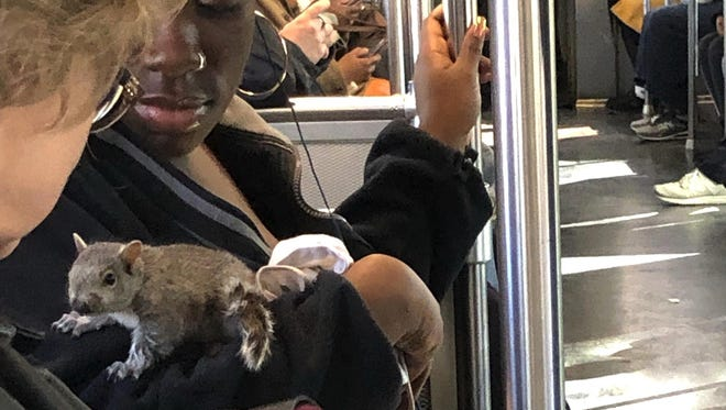 In this Monday, April 29, 2019 photo, provided by Rosanne Foley, a squirrel is perched on the arm of a Red Line Massachusetts Bay Transportation Authority commuter trolley as the train passes through the Dorchester neighborhood of Boston.