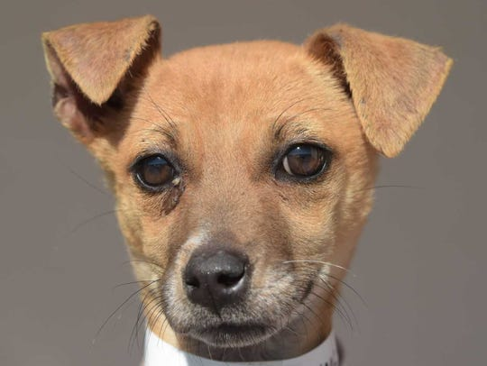 Happy - Female Chihuahua mix, juvenile. Intake date: