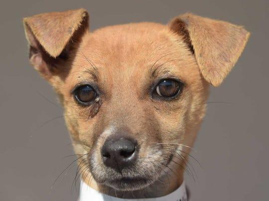 Happy - Female Chihuahua mix, juvenile. Intake date: 12/2/2017