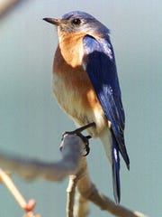 A male bluebird perches on a branch after enjoying a meal provided at a feeder by Suzanne Frederick in East Fallowfield, Pennsylvania.