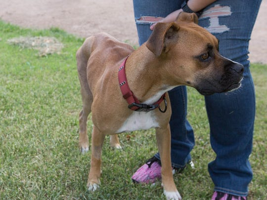Xena, a 2-year-old boxer, was found July 11, 2018, with a broken leg and dislocated hip. Xena's new owner and a veterinarian believe she may have been beaten.
