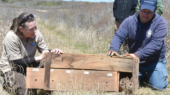 U.S. Fish and Wildlife's Eileen McGourty and Mass Wildlife's John Garofoli open the door for a New England cottontail on Nomans Land in 2019. Last month, the U.S. Navy decided it did not plan to carry out a $31 million project to remove unexploded ordnance on the island, which was used for target practice from 1943 to 1996.