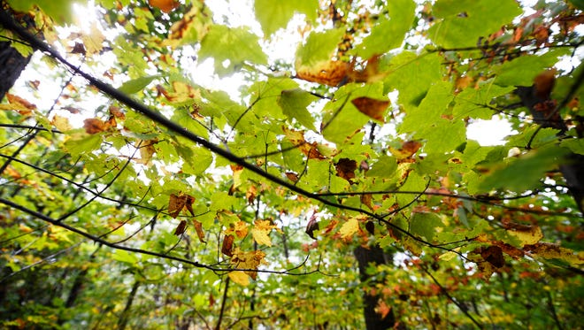 Leaves begin to change towards the top of the hill along the Turkey Hill Trail in Manor Township, Lancaster County Wednesday, September 21, 2016.