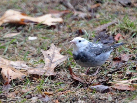 This leucistic junco is considered a piebald because it's not entirely white.