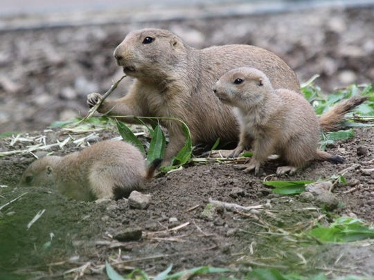 Prairie dog pups have also recently been born at Mesker Park Zoo.
