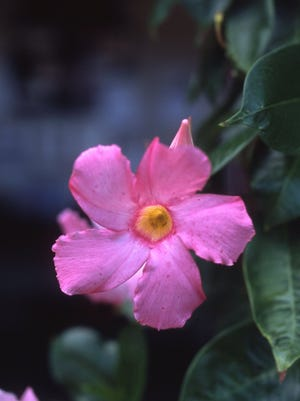 The pink Mandevilla flower is tropical and will not survive outdoors in winter. Move the potted plant indoors for survival.