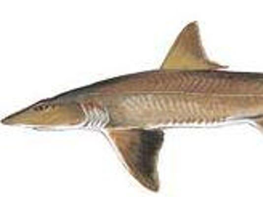Spiny dogfish shark