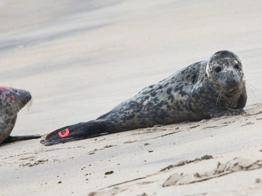 Two of five seals released by the Brigantine Marine Mammal Stranding Center look at the open ocean water cautiously before heading in.