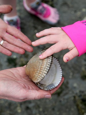 A clam shell found during low-tide at Lions Park on Tuesday.