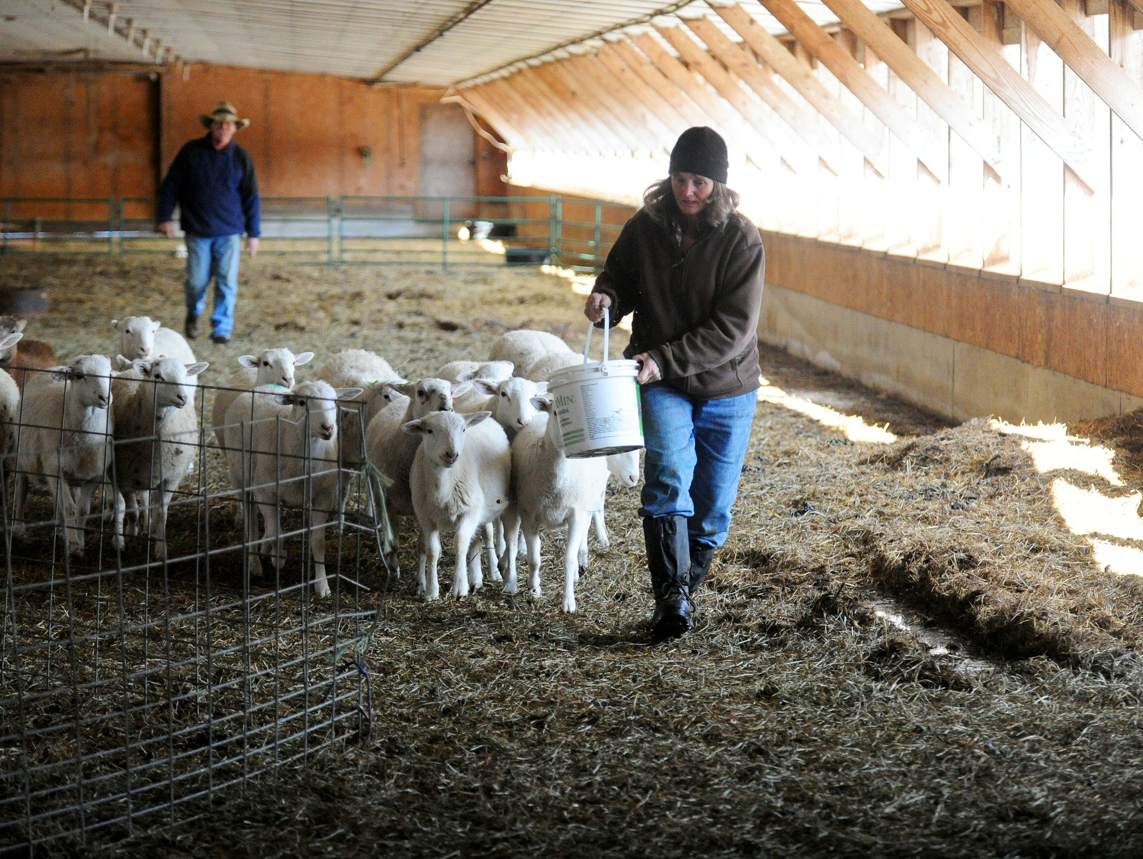 Cathy Robertson uses a bucket of feed to lure sheep