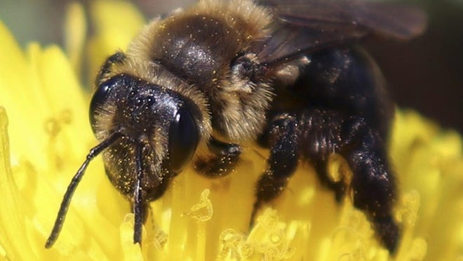 A ground nesting bee pollinating a flower in New Hampshire. The species is one of 14 declining wild bee species identified in a study published in April 2019 by researchers at the university.