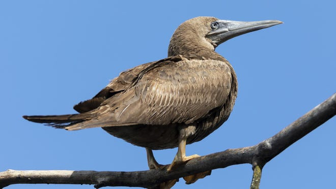 A juvenile brown booby, on its favorite perch along Nimisila Reservoir near Akron.