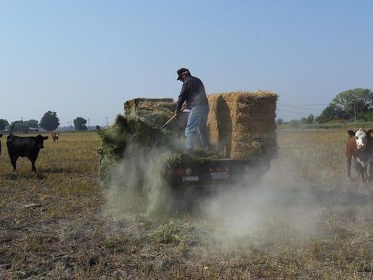 Lifelong rancher and farmer Tom Moura feeds alfalfa hay to a neighbor's cattle near the Moura Ranch north of Lovelock on Aug. 9, 2015.