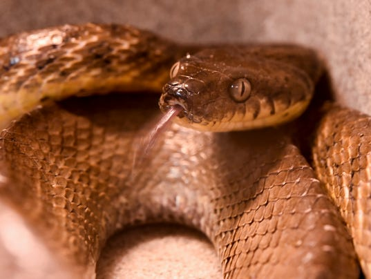 636368905245077536-Brown-Tree-Snake-10.JPG