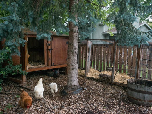 Chickens dine on oats at Sarah Peacock's home in Fort