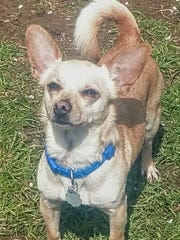 Drago is an adorable, 2-year-old, 10-pound, neutered,
