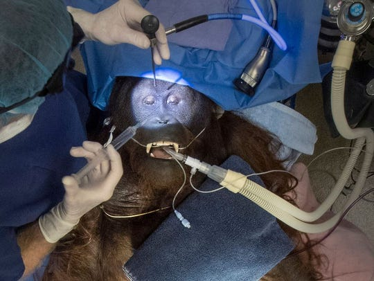 Daniel the 12-year-old Bornean orangutan in surgery