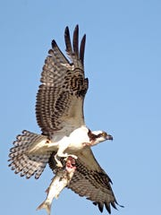 The majestic osprey is a fairly common in area bays and especially around the remote Aransas National Wildlife Refuge, where this one was photographed after a successful hunt.