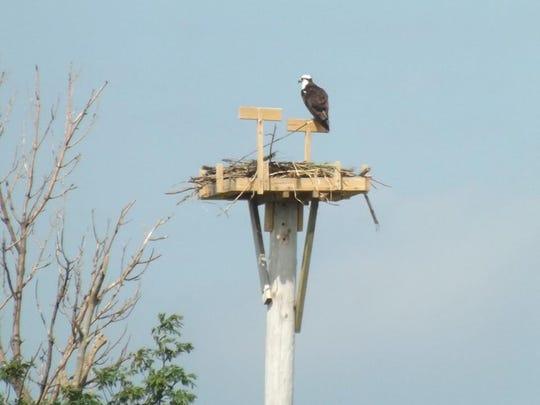 An osprey sits atop a nesting box at Ottawa National Wildlife Refuge.