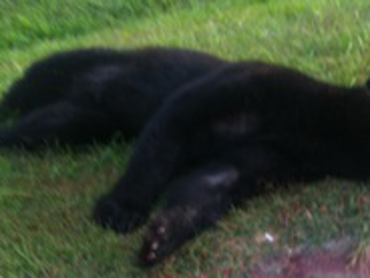 This young male black bear was struck and killed by a vehicle in Fawn Twp. on Thursday, Sept. 24, 2105.