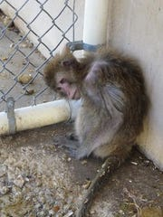 A thin monkey crouches in a corner of a cage at Primate