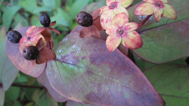 A blueberry shrub serves an edible as well as ornamental function. Blueberries are an easy-to-grow alternative to turf in problem areas like around trees, slopes and pathways.