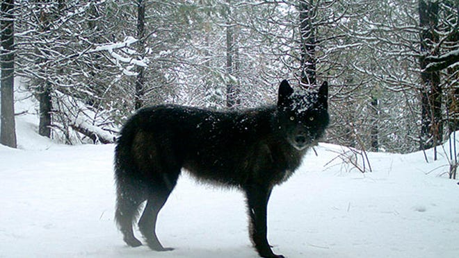 Authorities say two men confessed to illegally killing wolves in separate poaching incidents in Michigan's Upper Peninsula.