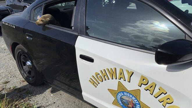 This photo provided by the California Highway Patrol shows a baby seal lion sitting in the back of a patrol car after being rescued along Highway 101 in South San Francisco.