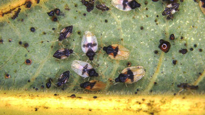 Adults and nymphs of the avocado lace bug crowd a leaf.