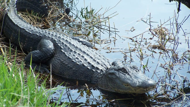 Lefty, a 7-foot alligator that lives along the Hugh S. Branyon Backcountry Trail in Orange Beach, Ala., is popular with tourists.