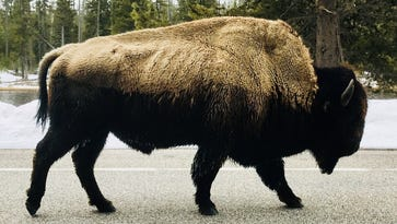 Bison gores woman who got too close at Yellowstone