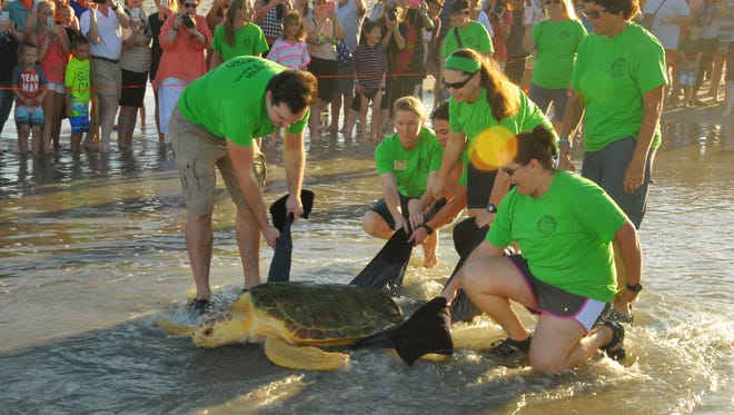 Merriam, a male sub-adult loggerhead turtle was released Tuesday evening at Hightower Beach Park in Satellite Beach. He was found on Oct. 16th floating sideways in the water with barnacles, algae and other serious health problems. Staff and volunteers treated Merrriam  at the Sea Turtle Healing center at the Brevard Zoo. Hundreds turned out to see the healthy turtle released.