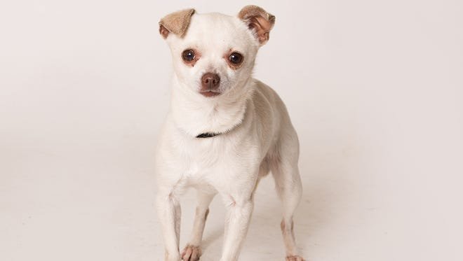 Mr. Peanut is available for adoption at Ventura County Animal Services.