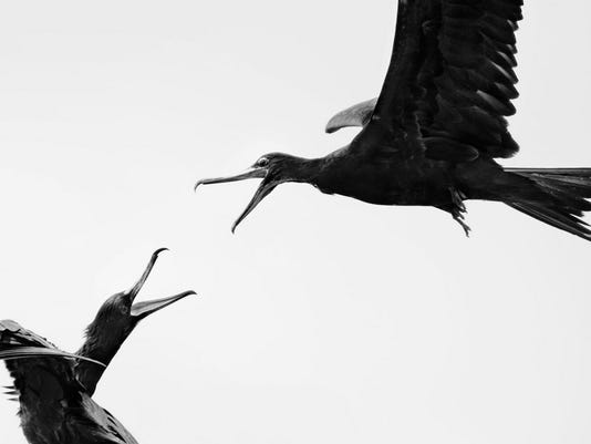 great-frigatebirds-carol-anne-fraser-audubon-youth-winner-1-.jpg