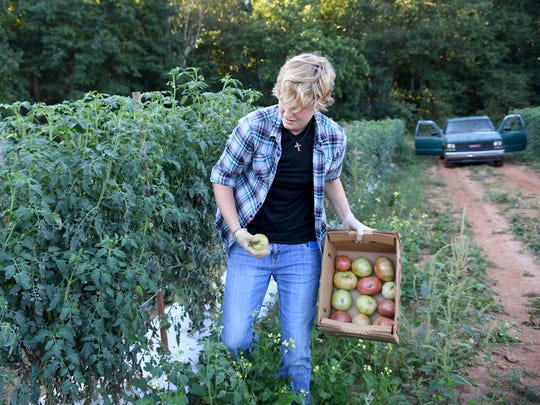 Kasie Jo Layman picks tomatoes at Sandy Flat Berry Patch in Taylors on Monday.