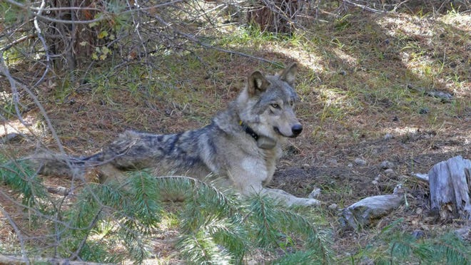 An Oregon wolf with a radio collar, dubbed OR-7, arrived in the state in 2011, becoming the first confirmed wolf in the California wild since 1924.  California's only known gray wolf pack has eight new pups.  Eight youngsters were tallied in the Lassen Pack in northeastern California.